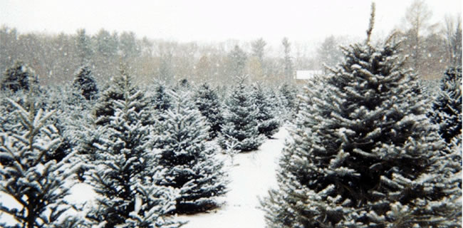 christmas-tree-farm-snowy